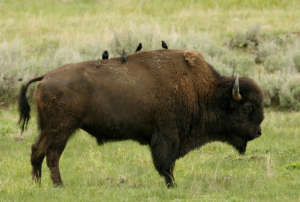 cow bull bison