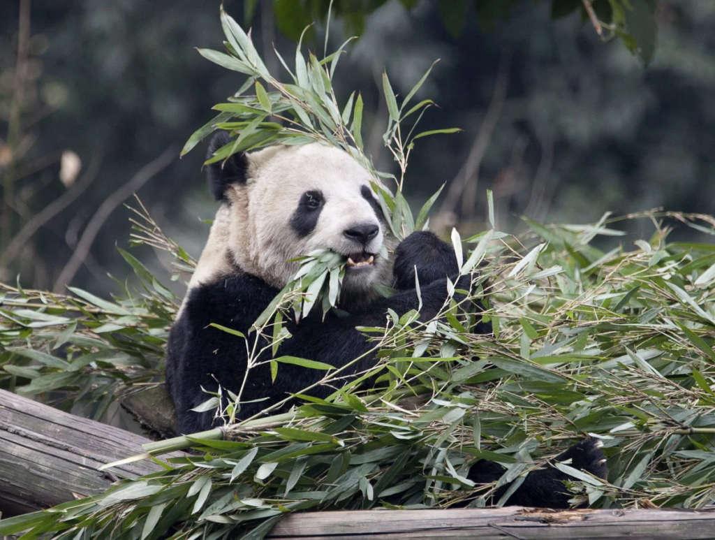 panda calgary